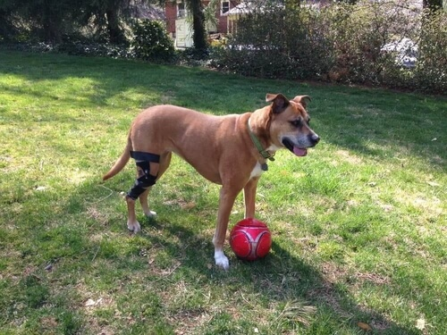 Boxer dog playing with soccer ball and wearing a knee brace for torn cruciate ligament