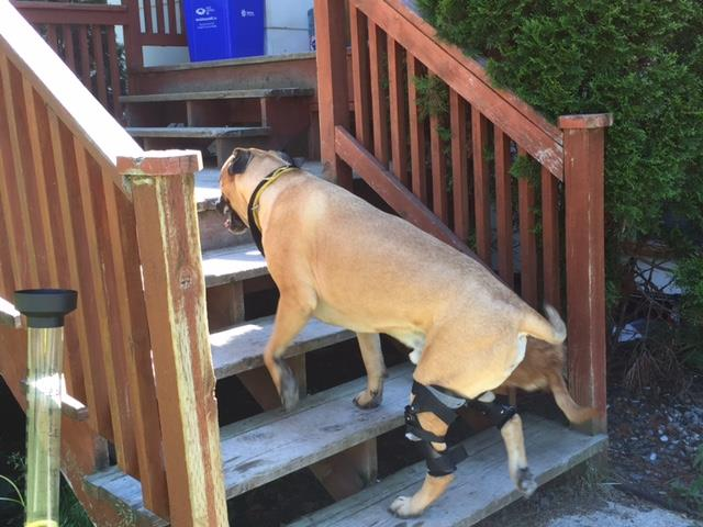 Dog climbing stairs wearing 2 dog leg braces