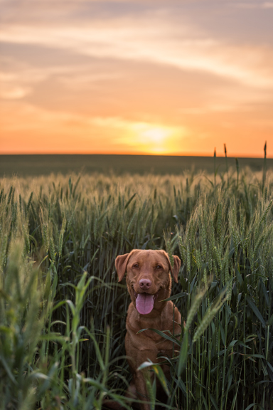 Lab dog playing in wheat