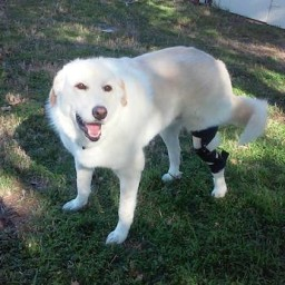 Pickles Smiling with dog knee brace-small
