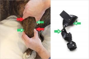 how-stifle-knee-brace-limits-cranial-drawer